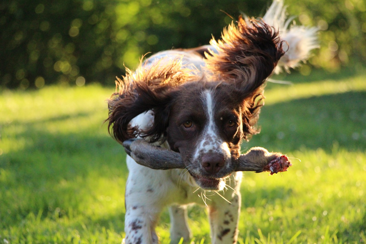 training_springer-spaniel-1458484_1280